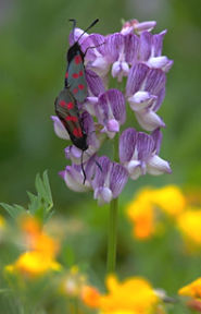 wood vetch and burnet moths