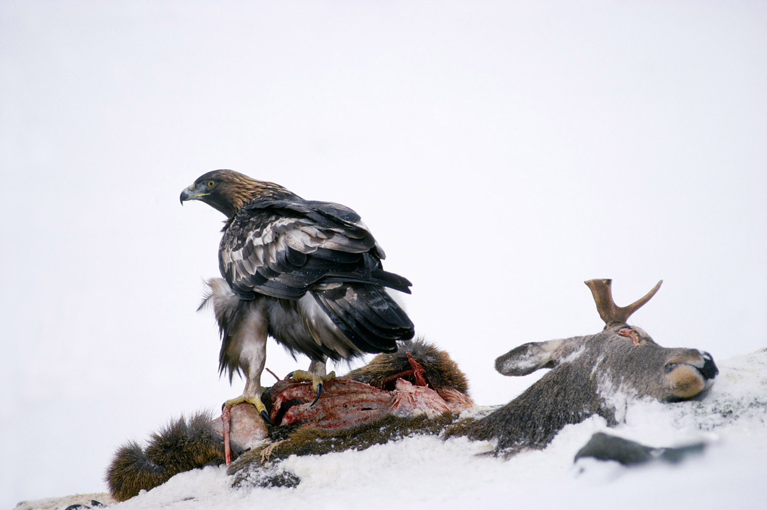 golden eagle 0071  PORTFOLIO GALLERY.jpg