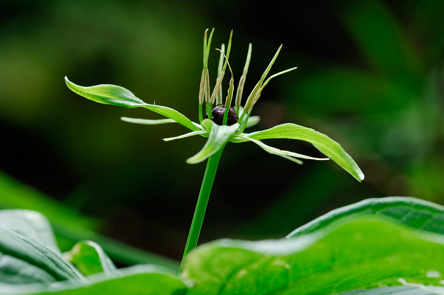 herb paris 0006  PORTFOLIO GALLERY.jpg
