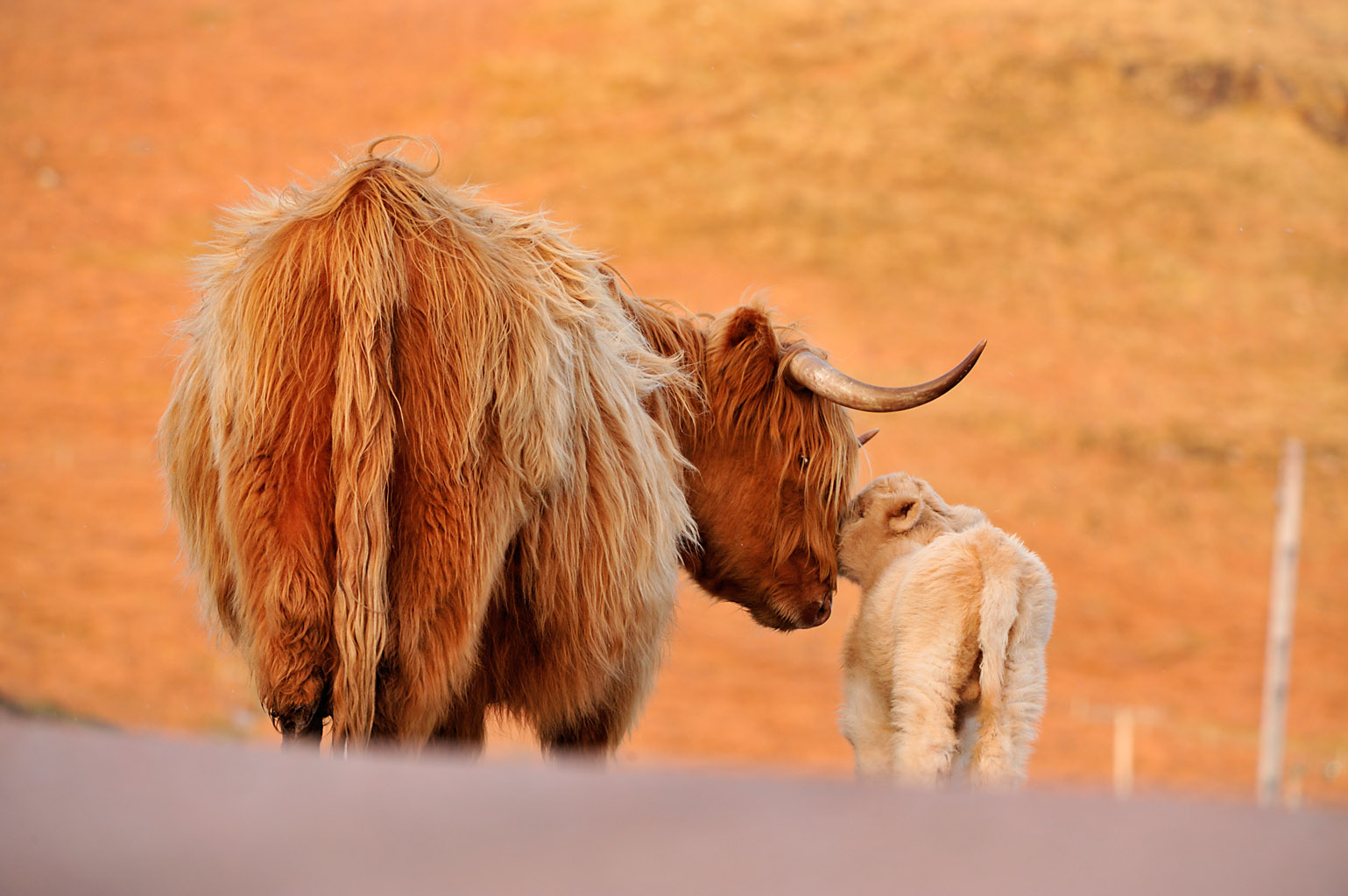 highland cow 0189  PORTFOLIO GALLERY.jpg