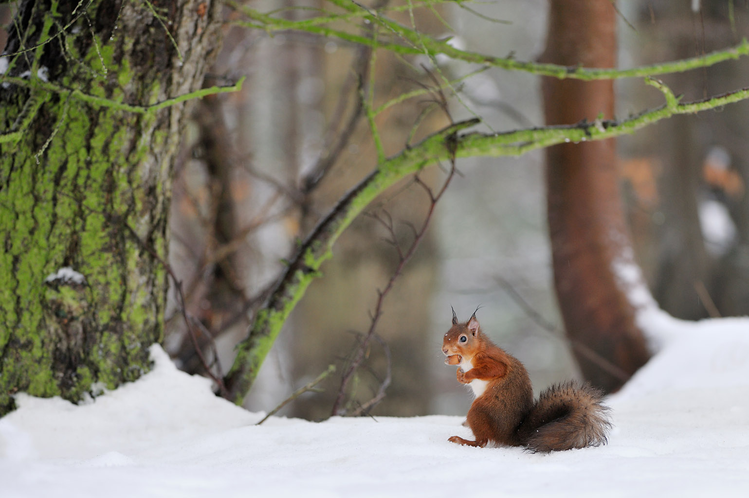 red squirrel 0107  PORTFOLIO GALLERY.jpg