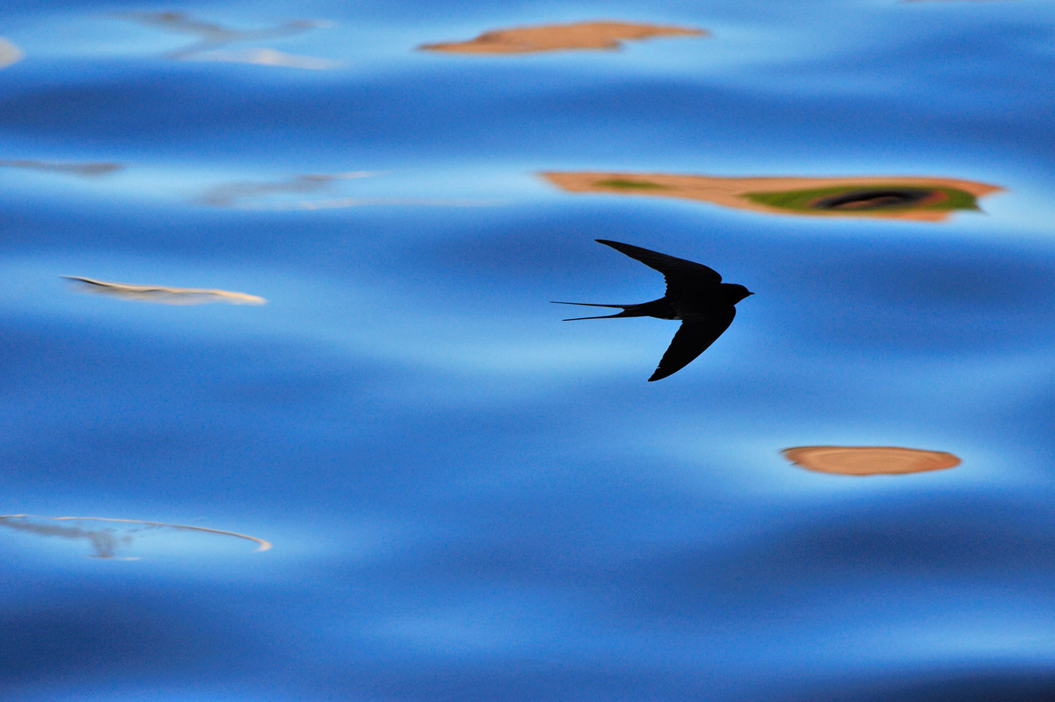 swallow 0015  PORTFOLIO GALLERY.jpg
