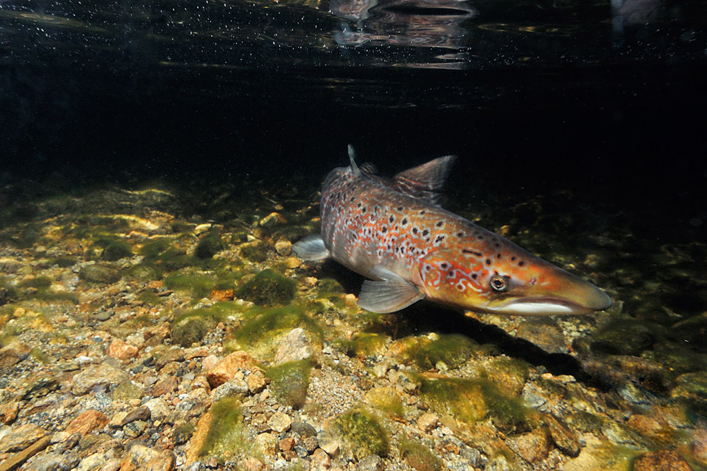 atlantic salmon 4540  HARRIS GALLERY.jpg