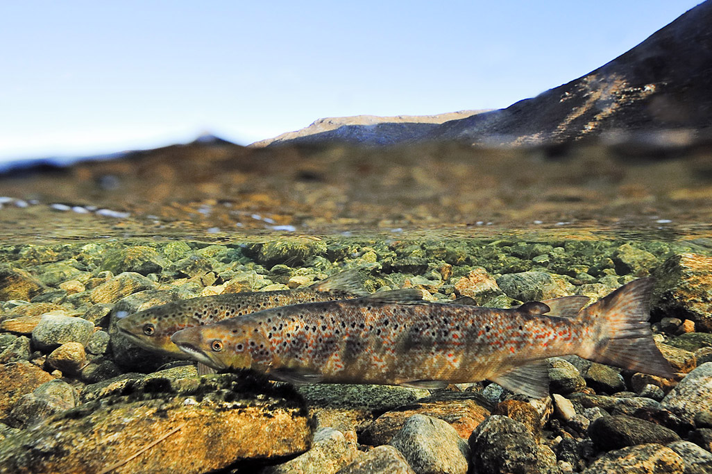 atlantic salmon 4967  HARRIS GALLERY.jpg
