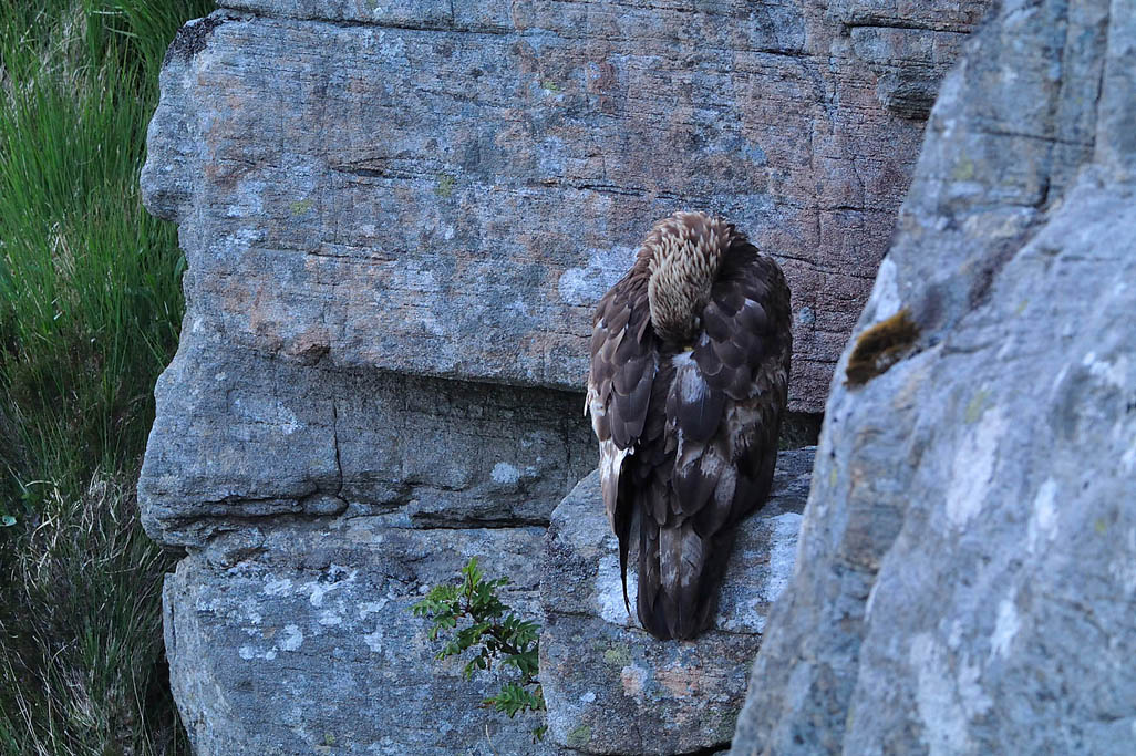 golden eagle 0295  HARRIS GALLERY.jpg