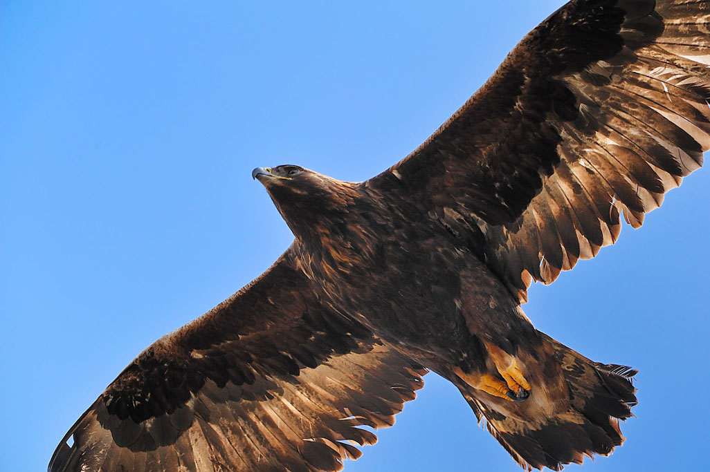 golden eagle 7701  HARRIS GALLERY.jpg