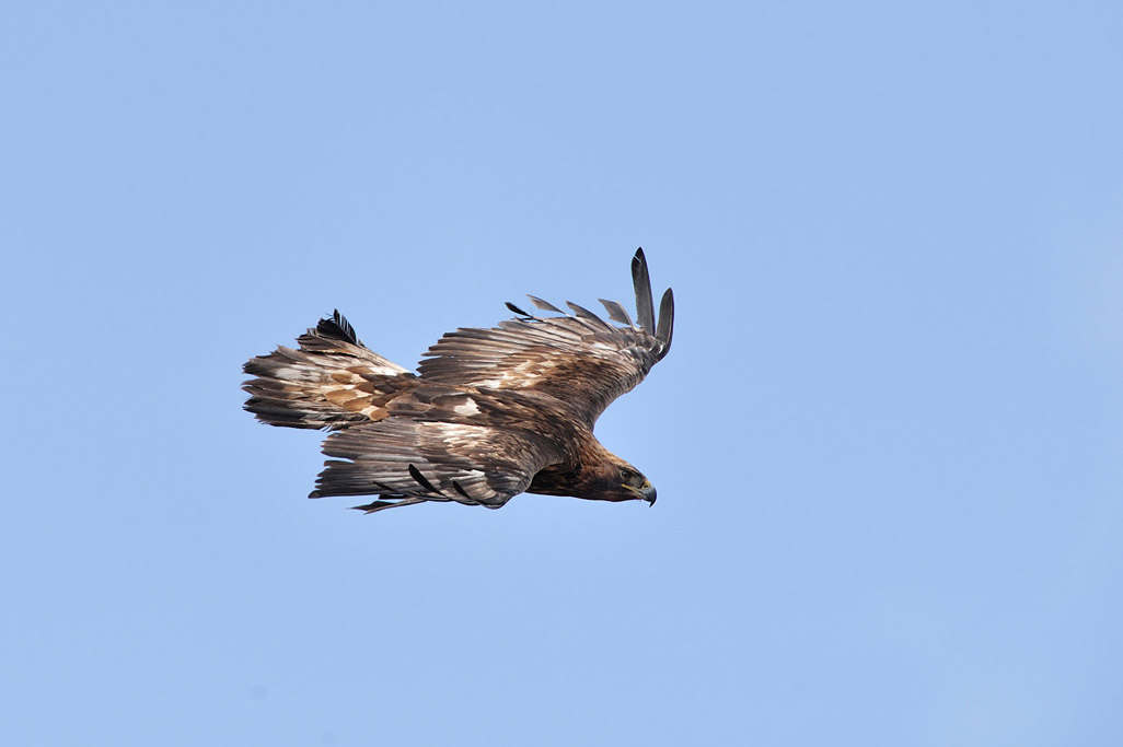 golden eagle 7717  HARRIS GALLERY.jpg